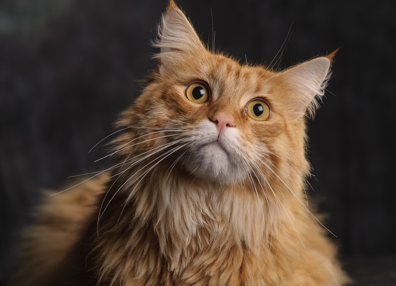 Image d'un chat dans le studio photo avec une lumière artificielle